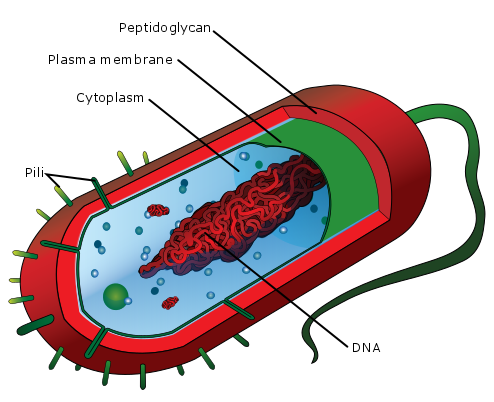 Average_prokaryote_cell-_en