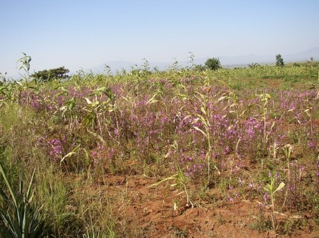 Striga-infected sorghum. Note the shrunken and withered appearance of the infected crops (foreground) compared with the healthy crops (background). Image credit Joel Ransom.