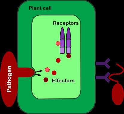 Plant_immunity_diagram