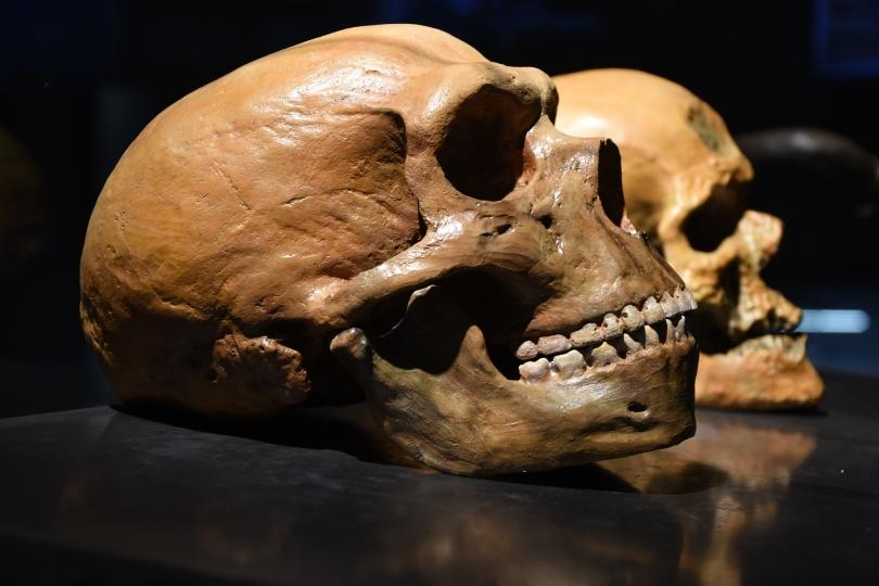 Neanderthal vs human skull