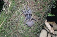 Bornean tarantula