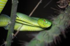 Sabah Pit Viper (Popeia sabahi)