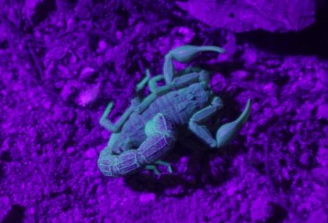 Tanzanian scorpion