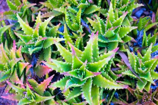DSCF2857 - Thorny Leaves